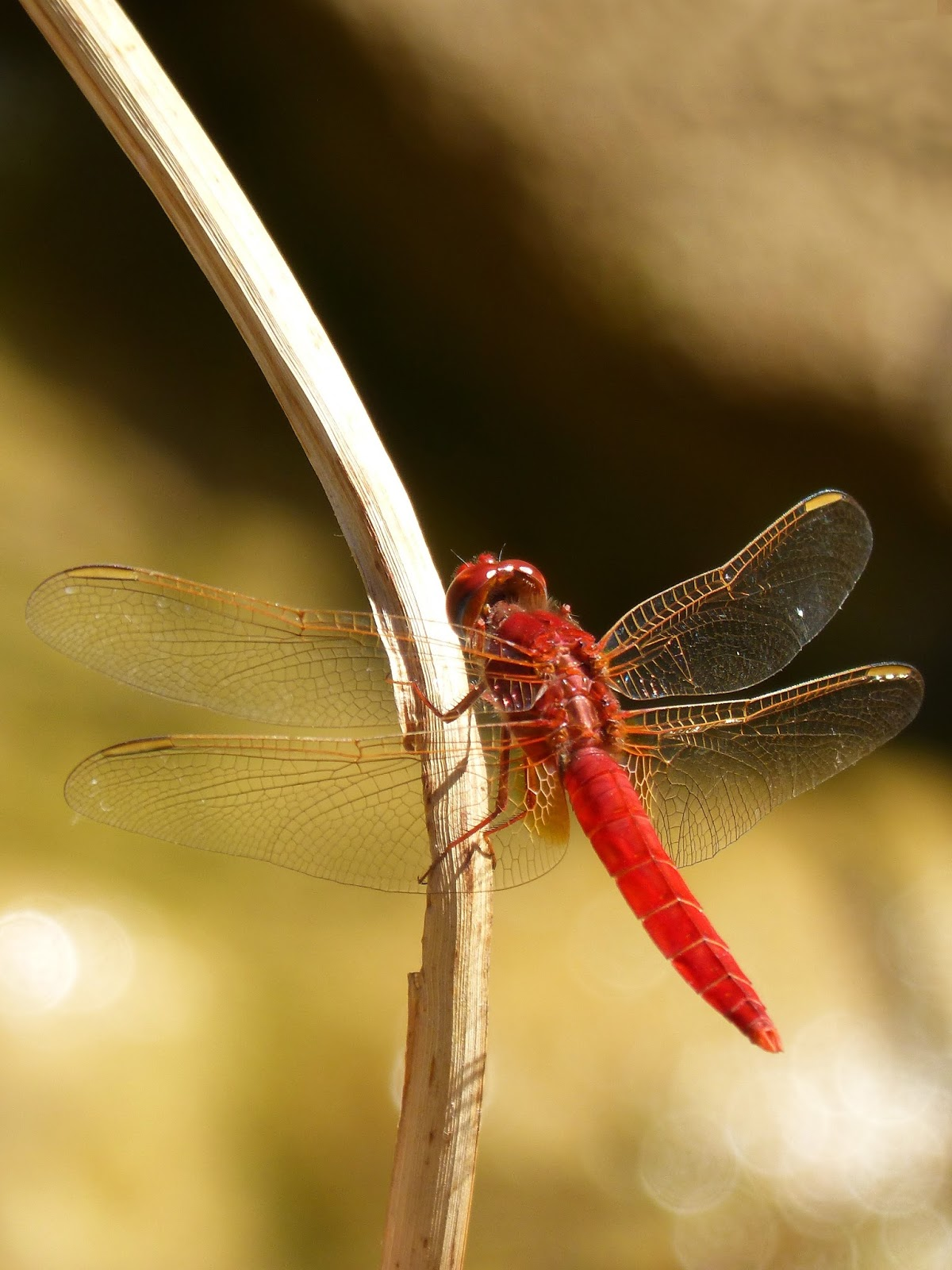 Picture of a red dragonfly.