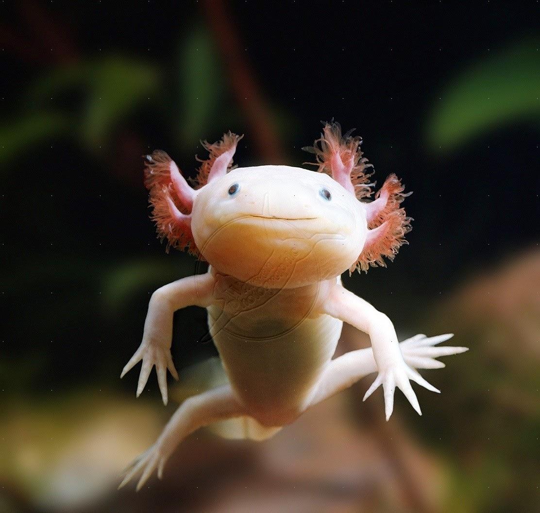Axolotl | Fun Animals Wiki, Videos, Pictures, Stories