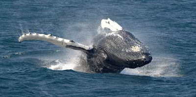 Japan Withdrawal from International Whaling Commission