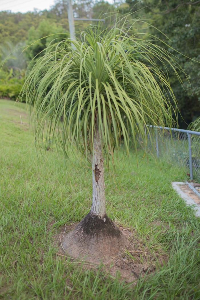 small pony tail palm