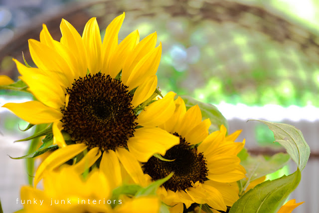 sunflowers in full bloom pictures