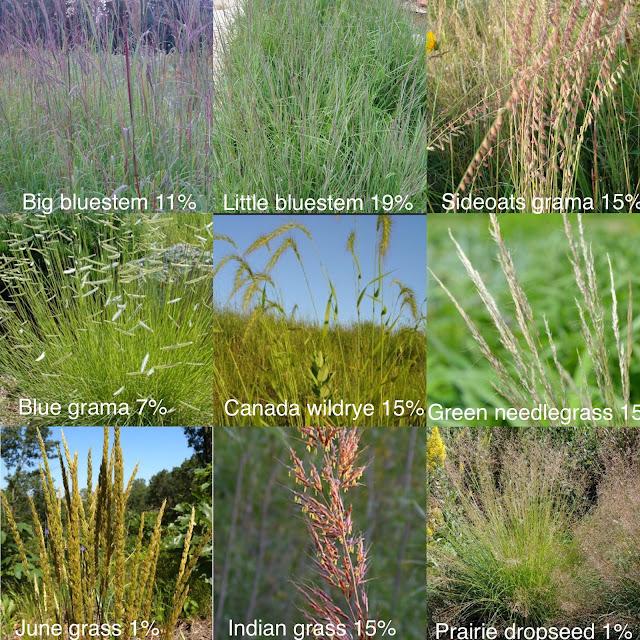 june grass prairie dropseed