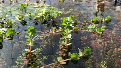 Best Pond Plants: Emersed Aquarium Plants