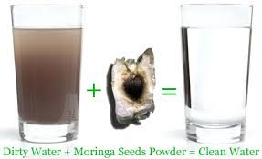 MORINGA SEEDS TREAT WATER