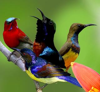Kolibri di Indonesia ini adalah jenis burung pengicau pemakan nektar. Dalam klasifikasi ilmiahnya dikelompokkan kedalam keluarga Nectariniidae.