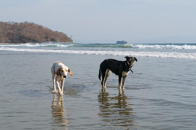 Chiens à Playa El Coco