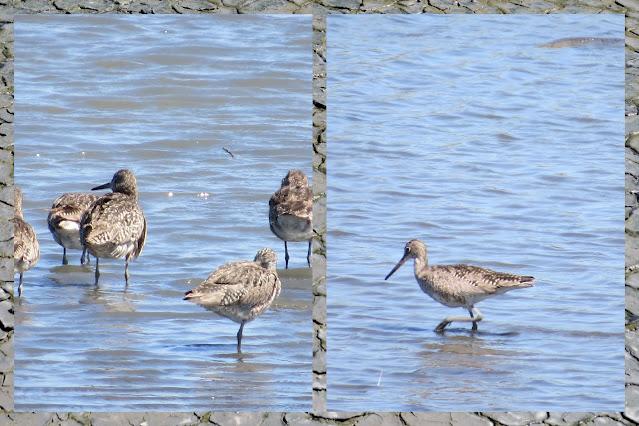 SF Bay Area Birding - Western Willet