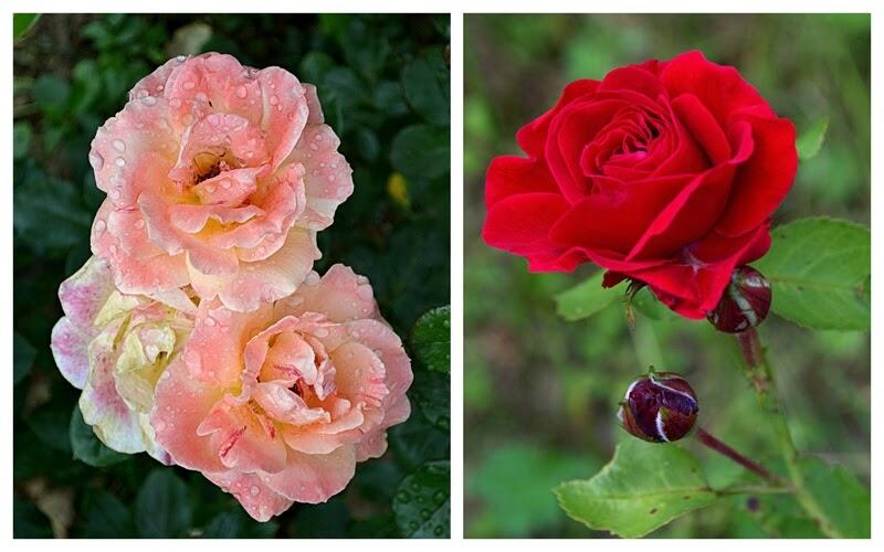 ogrod, ogrodek, owoce, owoce z ogrodu, hodujemy porzeczki, porzeczki, sos porzeczkowy, sos do grilla, grill, co na grill, dania z grilla, co do grilla, weekend,roze, roza, kwiaty, kwiaty w ogrodzie, dlugi weekend, majowka, blog, zycie od kuchni