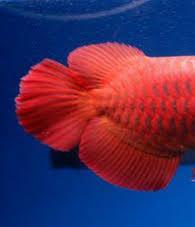 Bentuk Ekor Ikan Arwana Yang Bagus