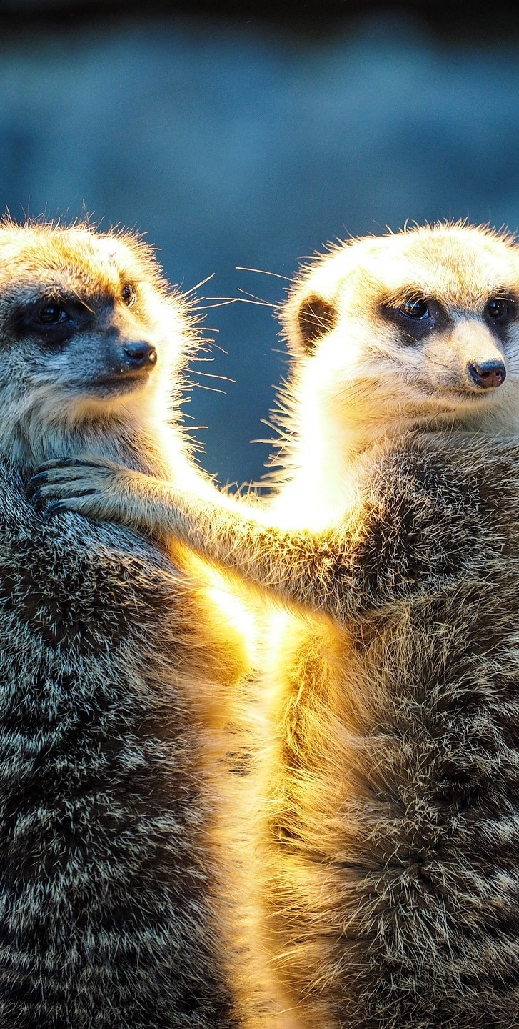 Pair of meerkats.