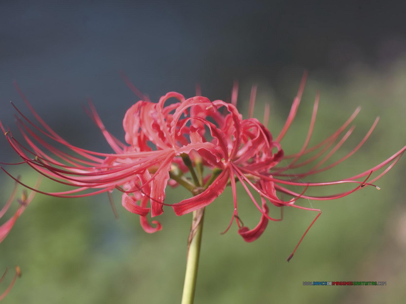 Red asian flower mine