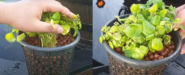 Watercress added to a big pot