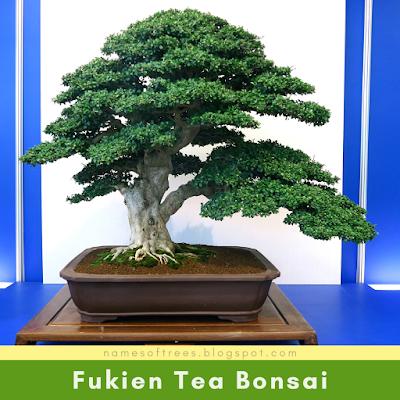 Fukien Tea Bonsai