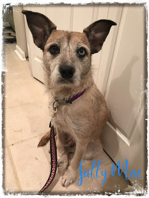 Wire-Haired Terrier Adoption
