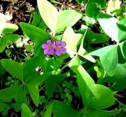 Oxalis Weed is common in garden.