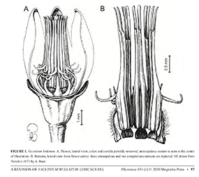 Vaccinium bullatum