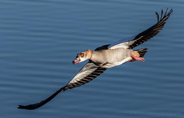 Egyptian Goose Diep River Milnerton Woodbridge Island