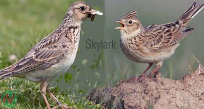 skylark, skylark bird, ভরতপাখি