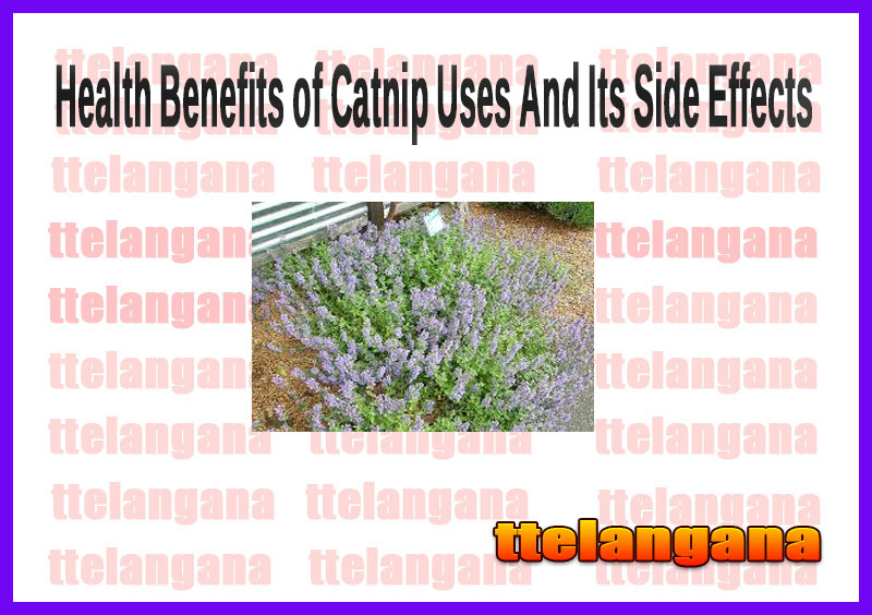 Health Benefits of Catnip Uses And Its Side Effects
