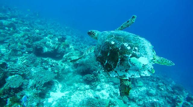 Submarinismo tortugas Dhiffushi Maldivas