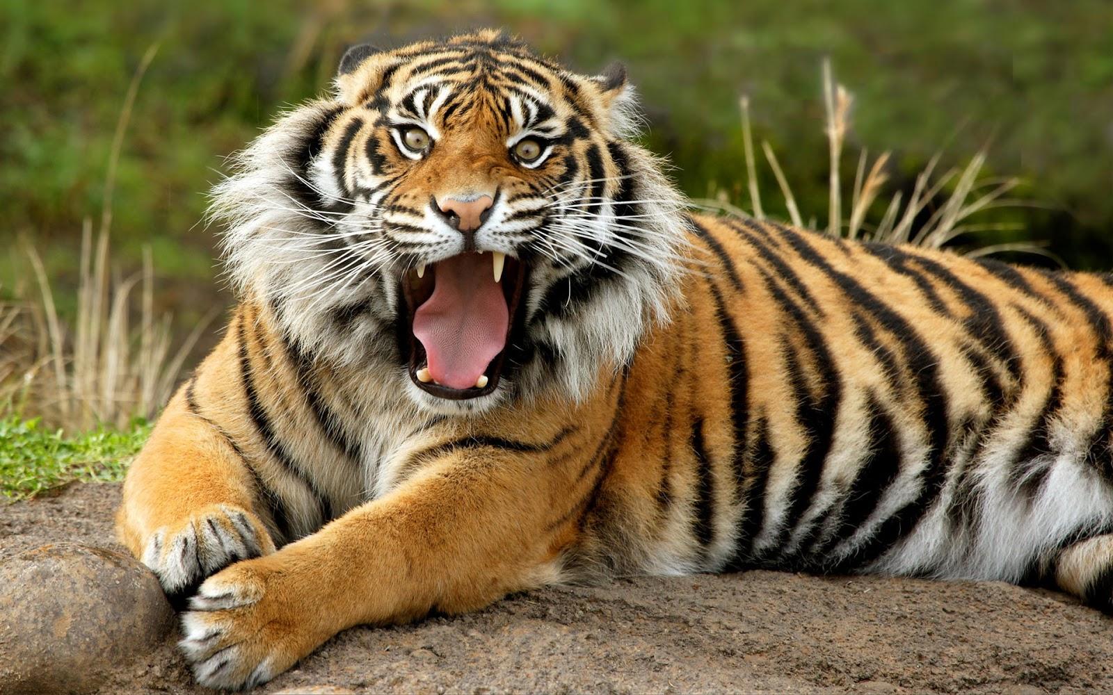 Gambar Harimau Lengkap  Kumpulan Gambar Lengkap