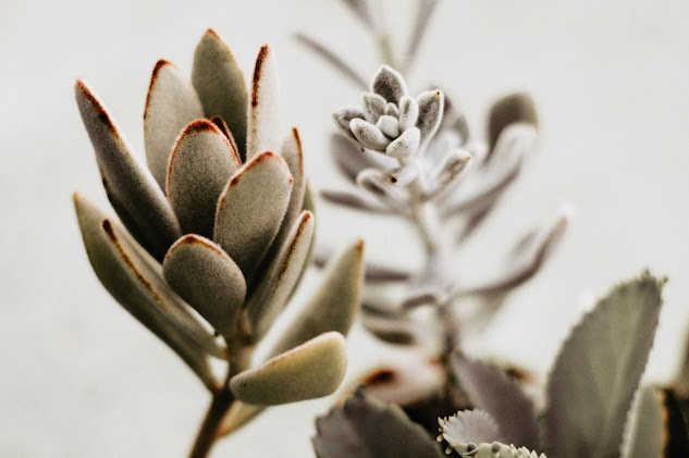 Panda Plant Succulent Growing And Caring Tips | Kalanchoe Tomentosa