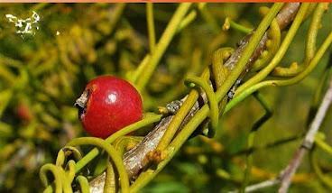 Amar bel fruit Benefit for Immunity Boosting by plantsbhh
