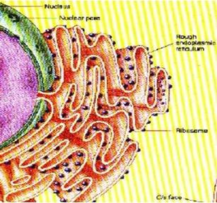 Retikulum endoplasma (RE) dan keterangannya