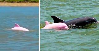 Σπάνιο ροζ δελφίνι κολυμπά στα νερά της Λουιζιάνας (Φώτο & Βίντεο)