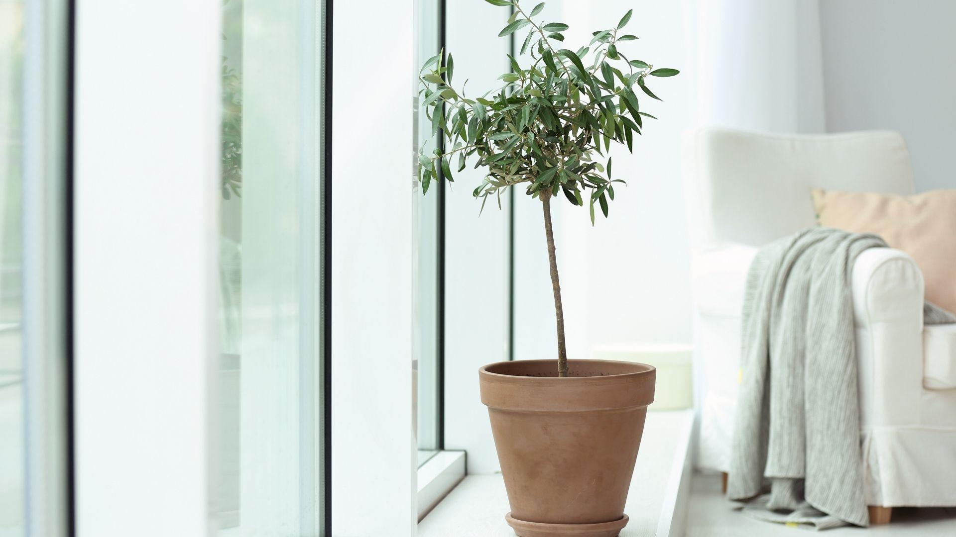 drzewo oliwne hodowla w domu