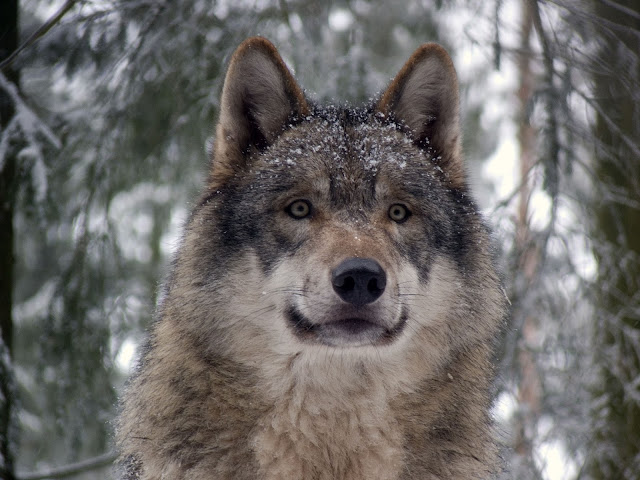 Wolf HD Wallpaper, Photos, Facts, Images Free Download