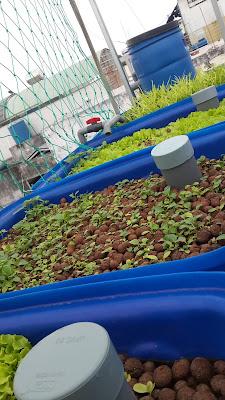 trồng rau tự động tại nhà