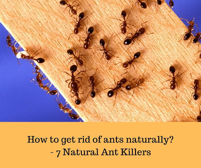 How To Get Rid Of Ants Naturally Natural Ant Killers Pocket News Alert