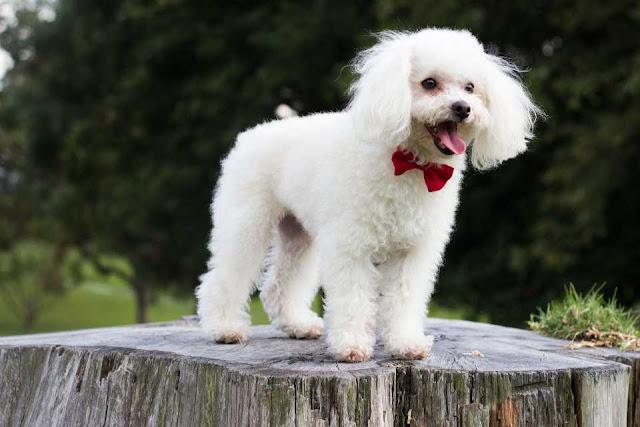 Morkie Dog Breed