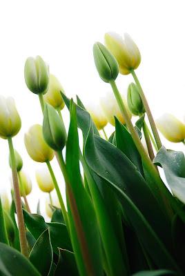 """Képtalálat a következőre: """"tulipe"""""""