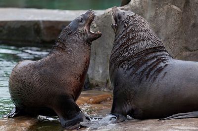 Dos lobos marinos machos peleando sobre las rocas por la conquista de las hembras