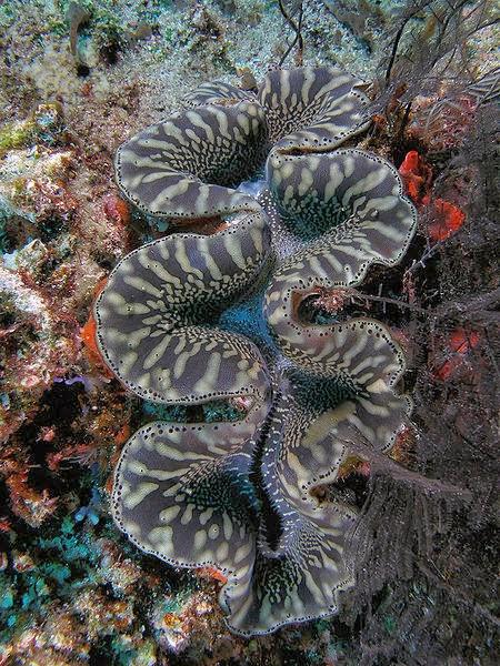 Kerang gergasi di dasar laut