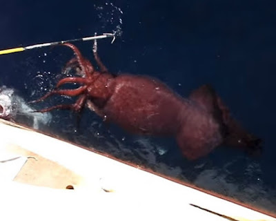 The giant squid that was found by the Russian fishermen
