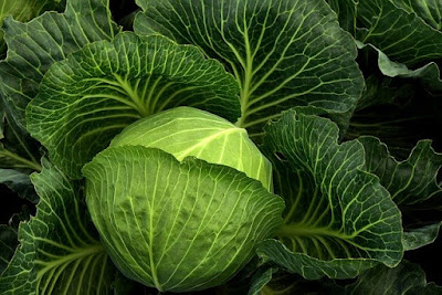 Cabbage for Diet