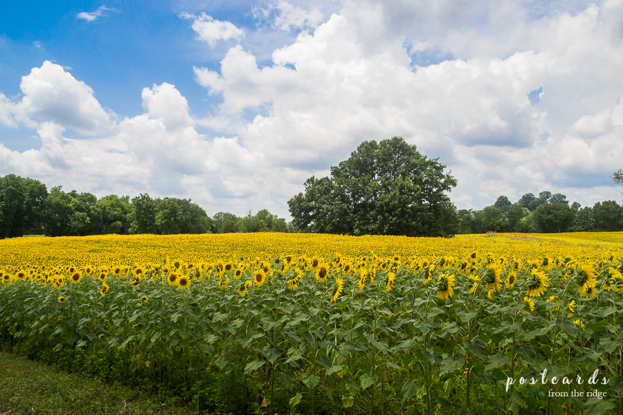 Knoxville sunflower field