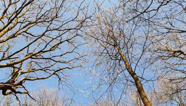 Image shows blue sky showing through bare branches.  One of the trees has blossom on it