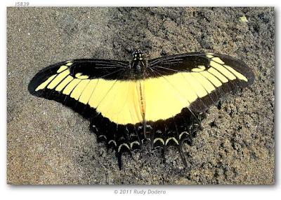 Mariposa androgeo (Heraclides androgeus)