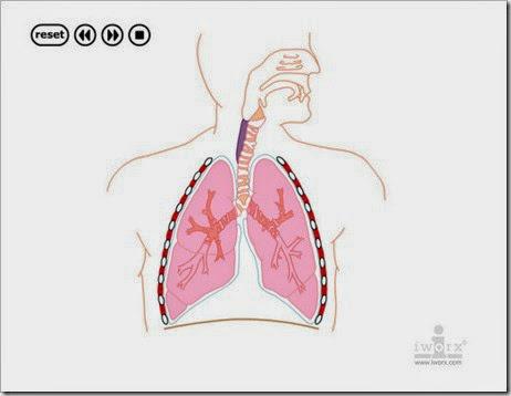 http://www.bioygeo.info/Animaciones/Ventilacion_pulmonar.swf