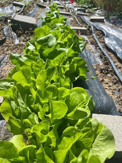 Row of Lettuce