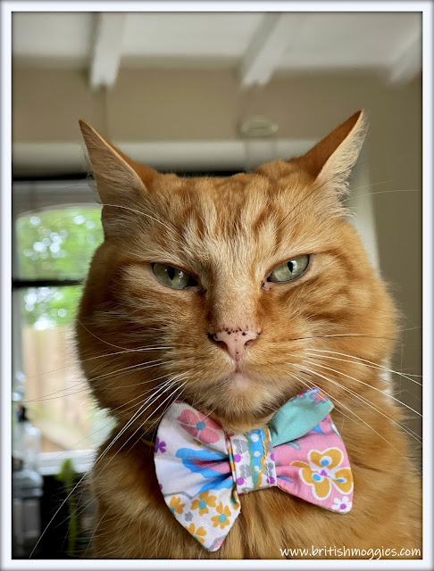ginger cat in bowtie, maincoon mix cat, ginger cat, bowtie, Kwerky Kat Boutique
