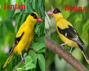 Mengenal Lebih Dekat Burung Kepodang