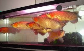 arowana 7 Besar Ikan Hias Paling Populer Di Indonesia