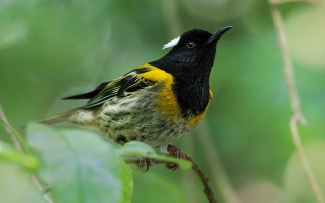 Το πουλί hihi με τους «ασυνήθιστα μεγάλους όρχεις»