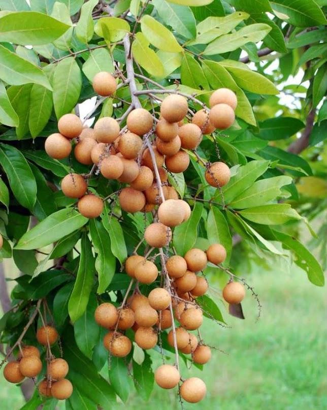 Bibit tanaman buah kelengkeng puangray okulasi Sorong