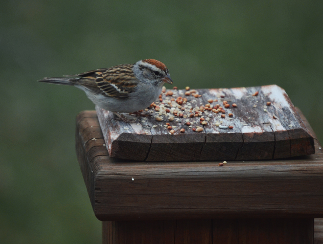 The Flying Clubhouse: Chipping Sparrow